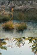 Icy Swamp with Tufts of Grass